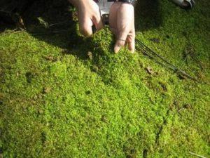 Избавиться от мха на почве