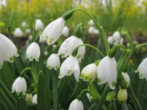 Подснежники весенних цветах