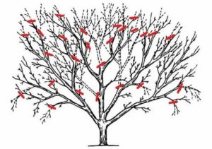 Обрезка взрослых яблонь