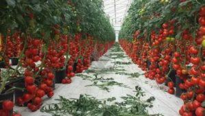 Томаты в теплице выращивание зимой