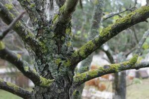 Как избавиться от мха на плодовых деревьях