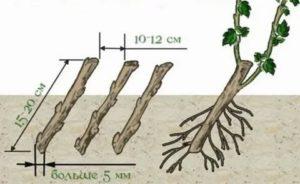Как посадить смородину весной черенками