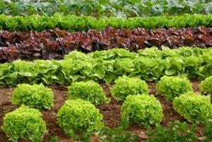 Выращивание овощей на грядках