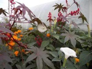 Посадка цветов клещевина