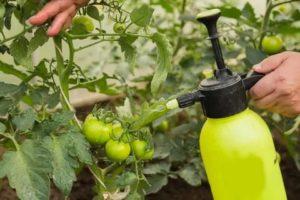 Можно ли подкармливать помидоры молоком