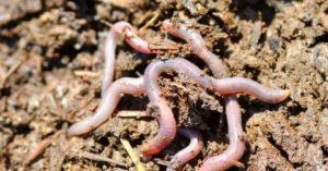 Чем полезны черви