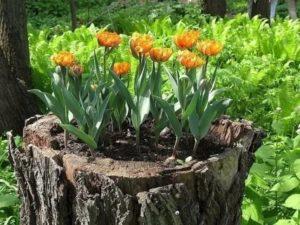 Где сажать тюльпаны