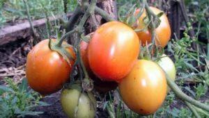Районированные сорта томатов