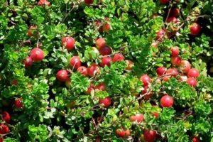 Выращивание клюквы крупноплодной