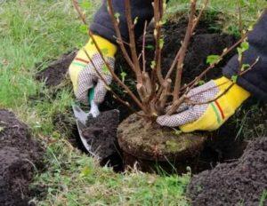 Пересаживаем плодовые деревья