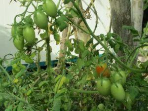 В теплице вянет помидора