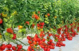 Урожайность помидор в теплице