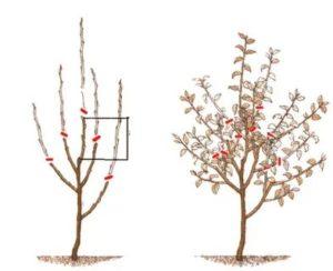 Обрезка двухлетней яблони