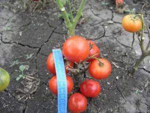 Сверхранние сорта томатов