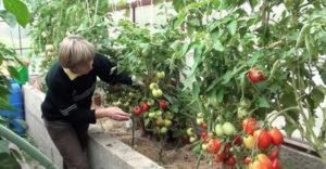 Как правильно выращивать помидоры в теплице видео