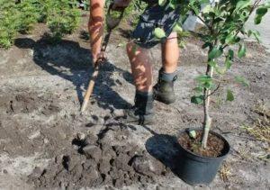 Весенняя посадка плодовых деревьев
