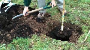 Удобрения при посадке деревьев