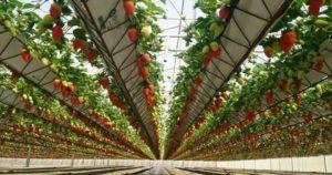 Клубника выращивание в теплице видео