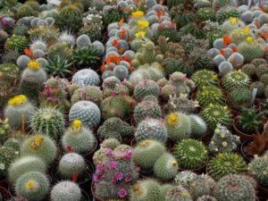 Кактусы выращивание и уход
