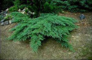 Стелющиеся хвойные растения