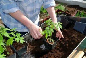 Как вырастить рассаду помидор видео