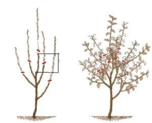 Формирование яблони видео