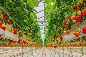 Урожайность клубники в теплице