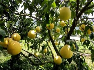 Где выращивают помело