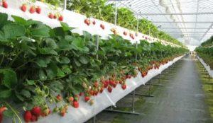Как правильно вырастить клубнику в теплице