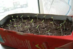 Выращивание черники с семян