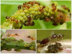 Избавиться от муравьев на смородине