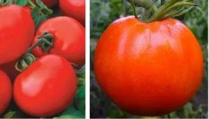 Сорта низкорослых и урожайных томатов