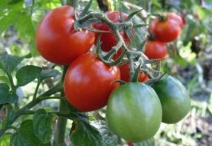 Описание всех сортов томатов