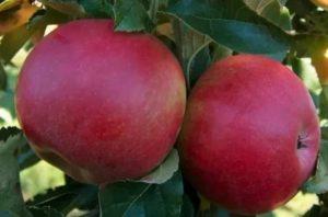 Сорта яблонь баяна