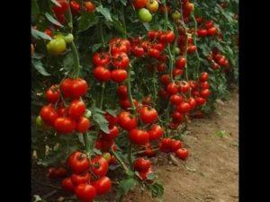 Лучший индетерминантный сорт томатов