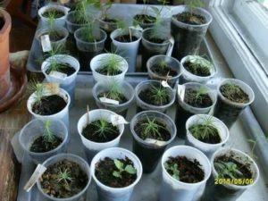 Посев хвойных семенами