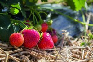 Клубника непрерывного плодоношения