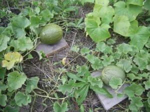 Дыни выращивание и уход