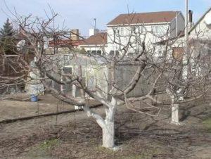 Обрезка старых яблонь