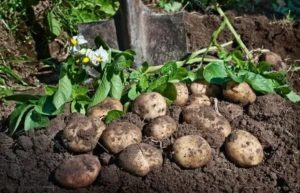 Когда убирать картошку