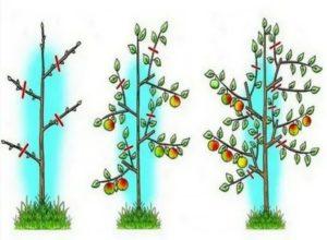 Обрезка молодых яблонь видео