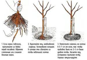 Как выбрать саженцы яблонь