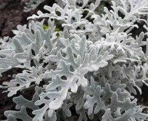 Цинерария морская выращивание