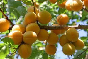 Лучшие сорта абрикосов для средней полосы