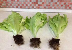 Как выращивать листья салата