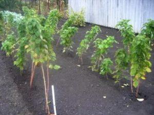 Как посадить малиновое дерево