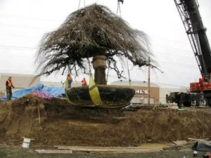 Как пересаживать взрослое дерево