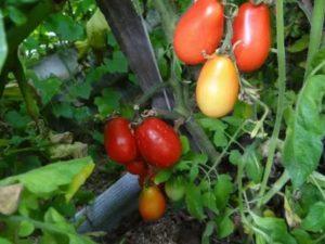 Московские помидоры