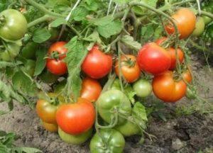 Лучшие сорта помидор в беларуси