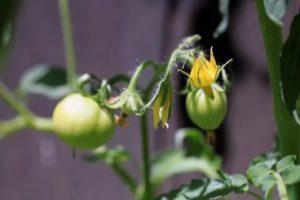 Когда цветут помидоры